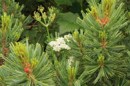 室堂の高原植物1