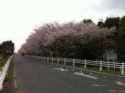 戸沢橋近くの桜並木