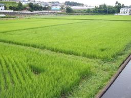 境川の田んぼ20090809