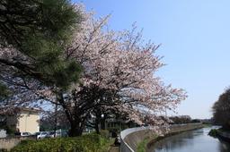 引地川の桜