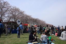海軍道路の桜祭り