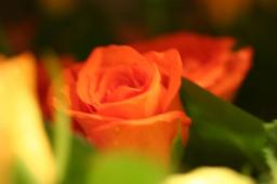 オレンジと黄色のバラ
