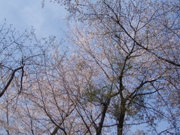 大池公園の桜